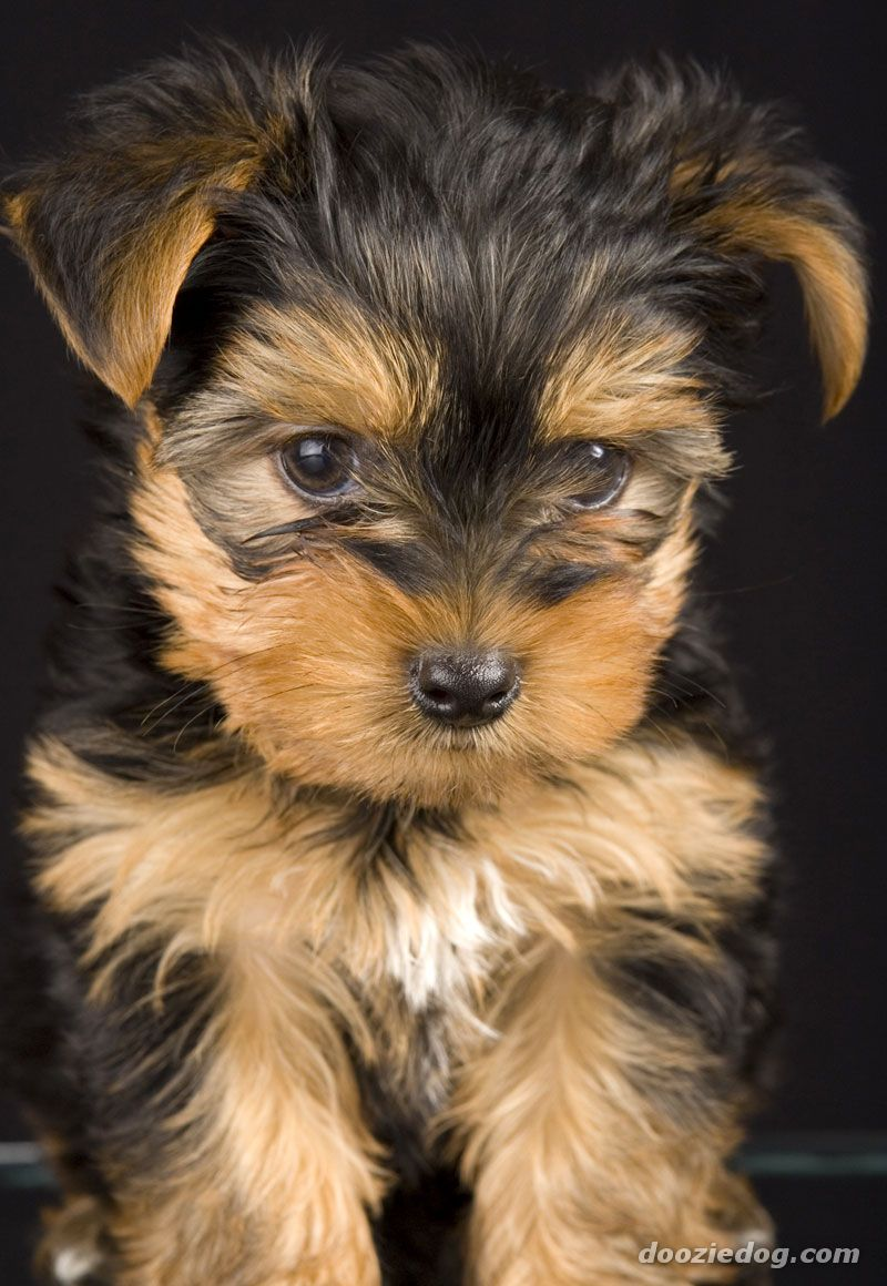 Yorkshire-Terrier-Puppy-11.jpg